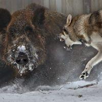 Lupi e cinghiali lottano per la sopravvivenza: video da vedere!