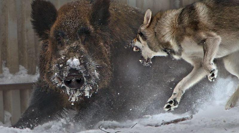 lupi e cinghiali
