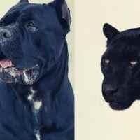La pantera del Roero potrebbe essere un cane corso?