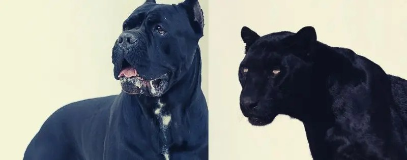 pantera nel Roero o cane corso?