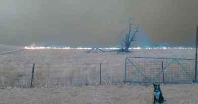 Il Border da lavoro che salva il gregge dal fuoco, in Australia