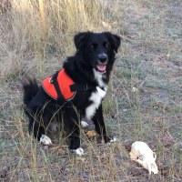 Cani che fiutano necropoli, lo studio croato