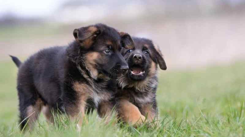Come allevare un cucciolo di pastore tedesco