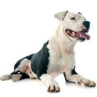 American Staffordshire Terrier:  origini e carattere