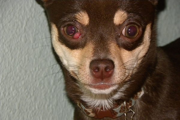 An Example Of Cherry Eye In Dogs