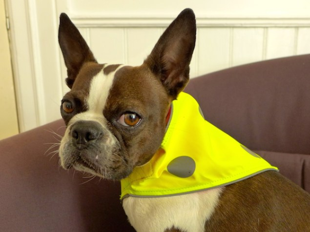 dog angry to be dressed up, yellow bandanna