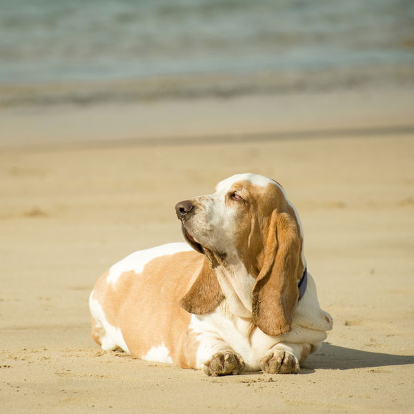 A bloated Basset Hound.