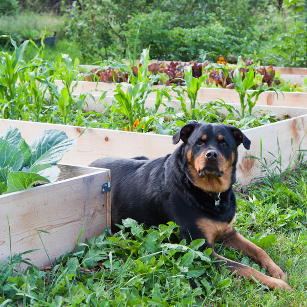 A Rottweiler dog in a garden.