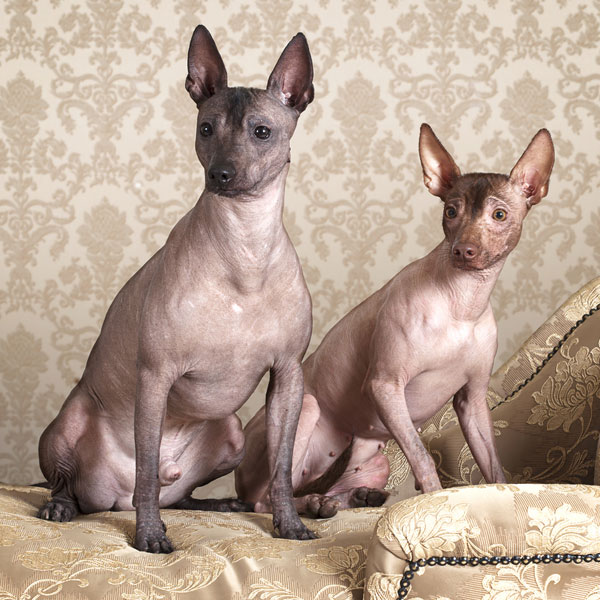Even hairless dogs aren't non-shedding dogs!