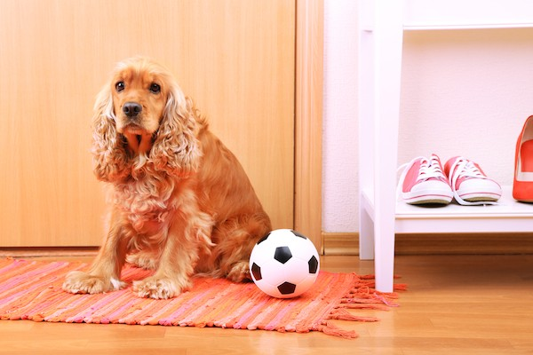 A Cocker Spaniel sitting on a rug with a soccer ball.