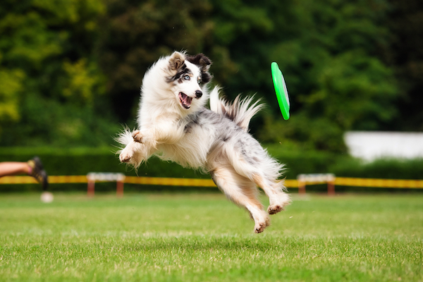 Dog chasing a Frisbee outside in the summer.