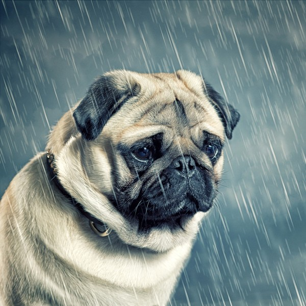 A Bulldog in the rain looking sad and crying.