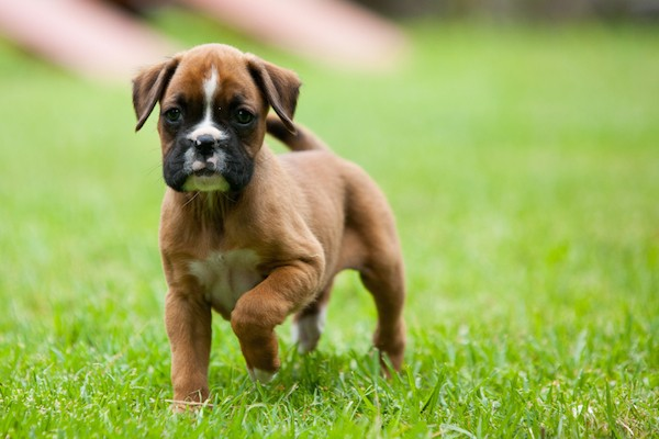 Boxer puppy by Shutterstock.