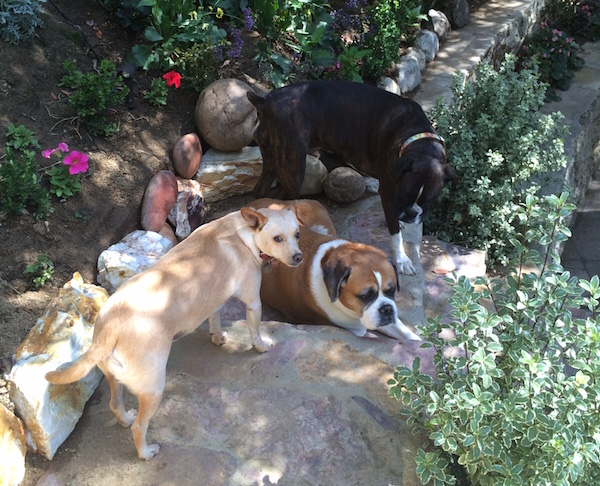 My rescue pups: Edison, Delilah, and Piper. (Photo courtesy Jill Hoffman)