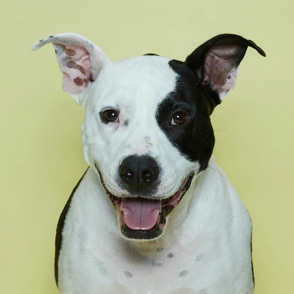 Oliver's happy face is changing the way people see Pit Bulls. (Photo courtesy Bzees)