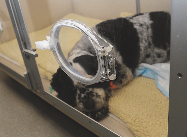 Dog receiving oxygen therapy. (Photo courtesy AAHA/Robin Baker)