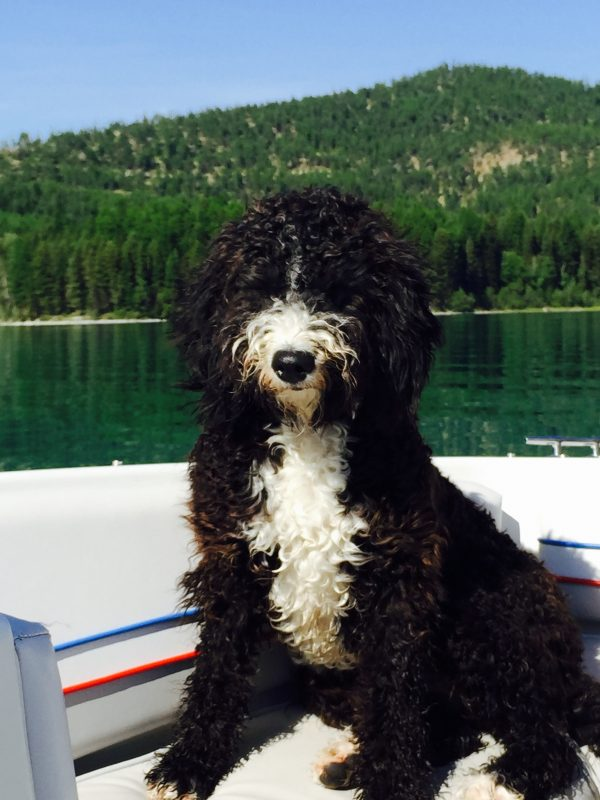 Spanish Water Dog, courtesy Spanish Water Dog Club of America