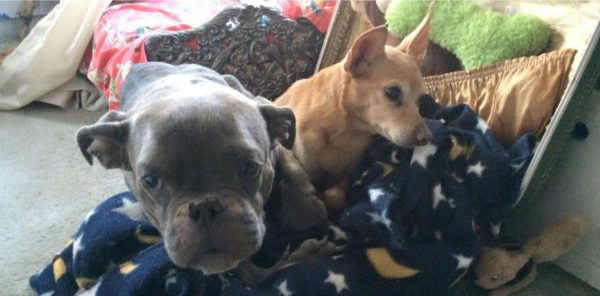 Sassy and Chiqui share a bed now. (All photos courtesy Sassy The Small Wonder)
