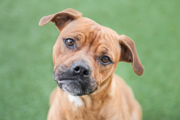Boxer-mix puppy tilting his head by Shutterstock.