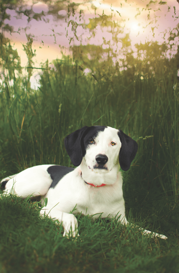 Border Collie/Beagle mix Harley is full of energy, always wanting to play and give lovins. (Photo by Tina Quatroni)