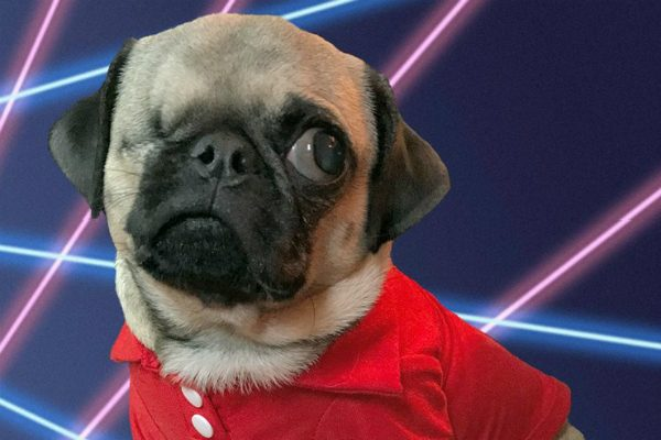 This handsome little Pug was likely born prematurely. (photo courtesy @peeweesbigpugventure)