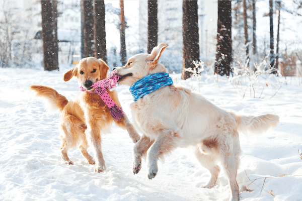 Two dogs playing by Shutterstock.
