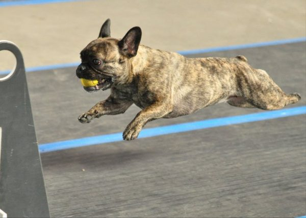 This French Bulldog is having fun with Flyball. (Photo courtesy Sarah Stoodley/Alise Baer Photography)