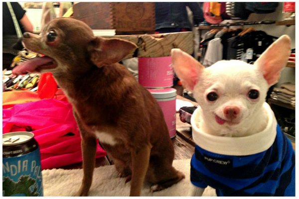 Meeting Chloe at an event at Dog & Co in New York. (All photos courtesy @pinkythechi)