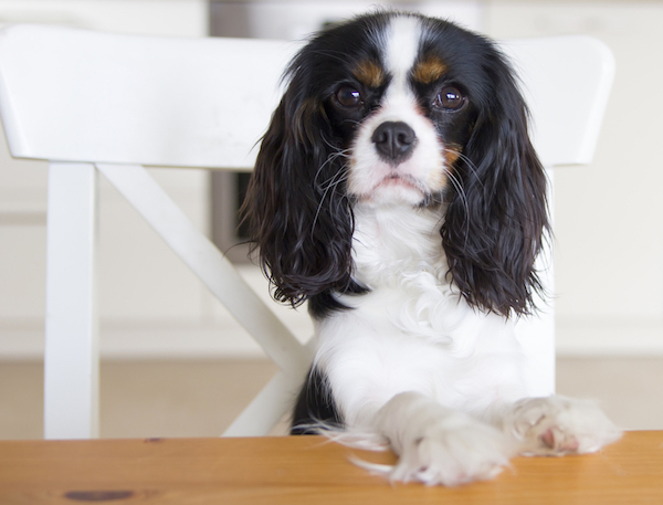 Dog sitting at table by Shutterstock.