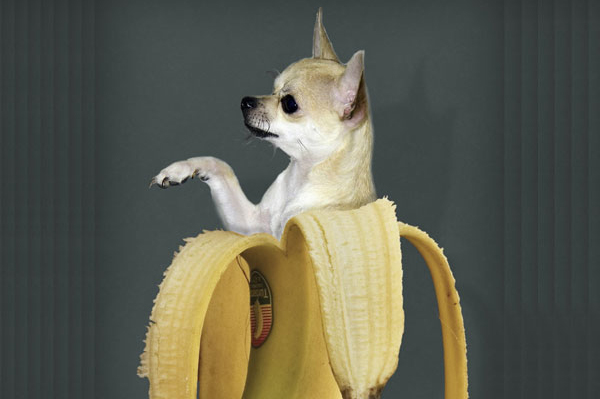 A Chihuahua in a banana.