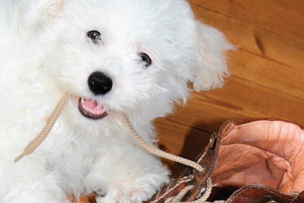 A Bichon Frisé happily chewing on a shoe.