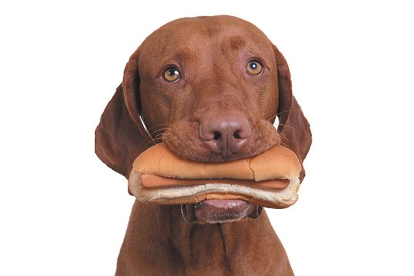 A brown dog eating a hot dog.