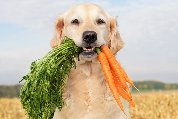 A dog eating carrots.