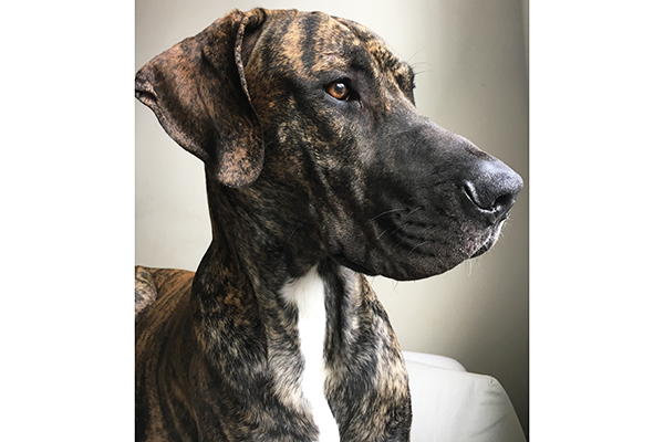Brindled Great Dane rescued from a puppy mill.