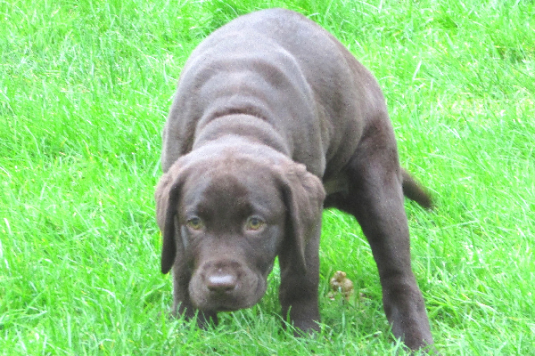A puppy pooping on green grass and looking scared or stressed.