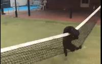 Chien se prend dans un filet de tennis.
