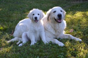 Photo du Golden Retriever et son chiot.