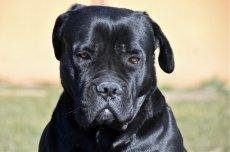 cane-corso-4015352_1280