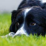 Le Border Collie est-il le chien le plus intelligent?