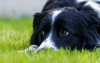 Le Border Collie est-il le chien le plus intelligent?