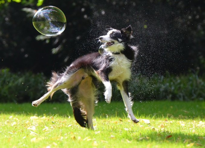 Le Border Collie s'ennuie vite