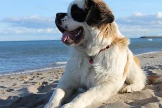 Saint Bernard à la plage
