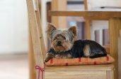 Yorkshire Terrier en appartement