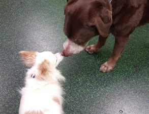 Boomer visiting with Stryker at Dogtopia of North Austin