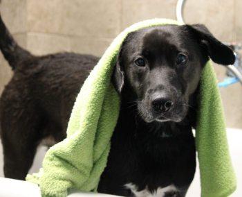 Sheba getting a dog bath