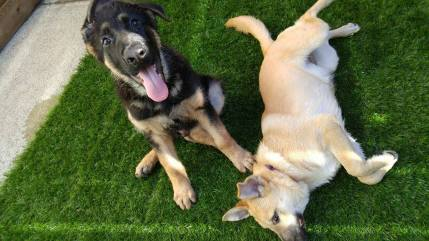 Sarj the German Shepherd Puppy and Tula the Lab Mix catching some rays