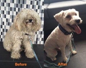 Before and After of severely matted dog