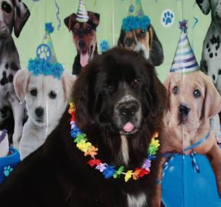 Sebastian the Newfoundland, having fun on his birthday