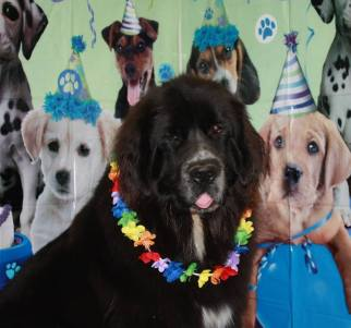 Sebastian the Newfoundland, having fun on his birthday