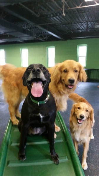 Golden retrievers photobombing